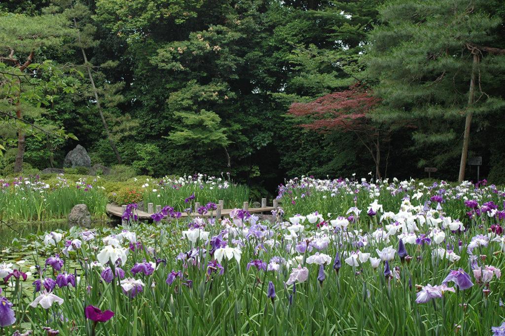 西神苑の花菖蒲