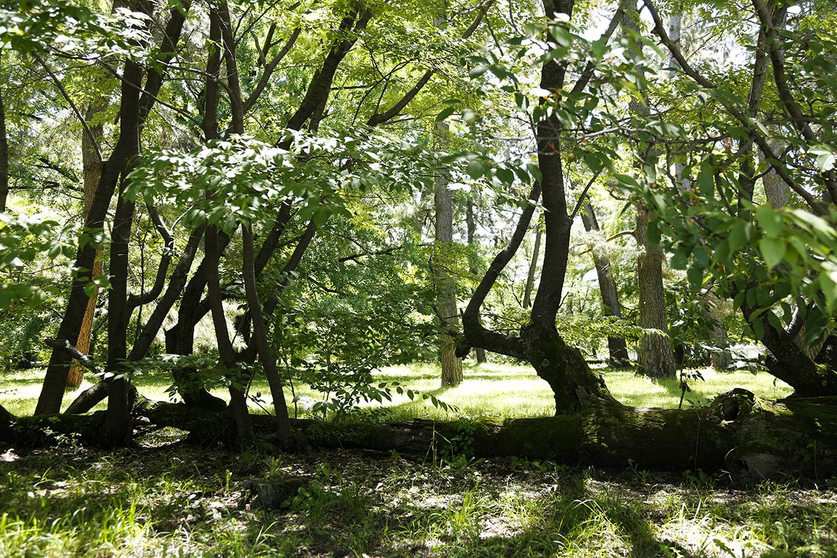 学習院跡にある「桜松」