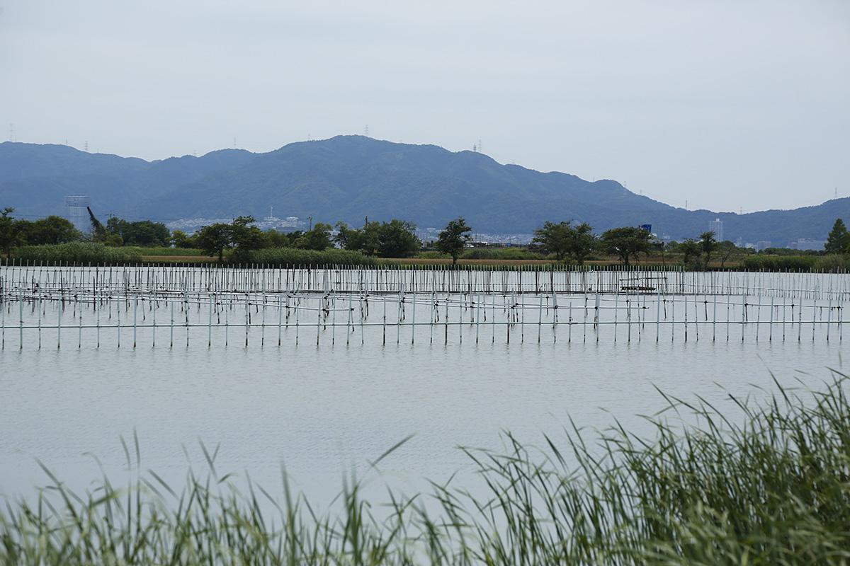 淡水真珠養殖の発祥の地といわれる平湖の真珠養殖場。現在は無核・有核ともに養殖されています