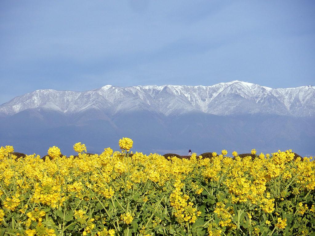 守山市第一なぎさ公園 菜の花と冠雪の比良山系