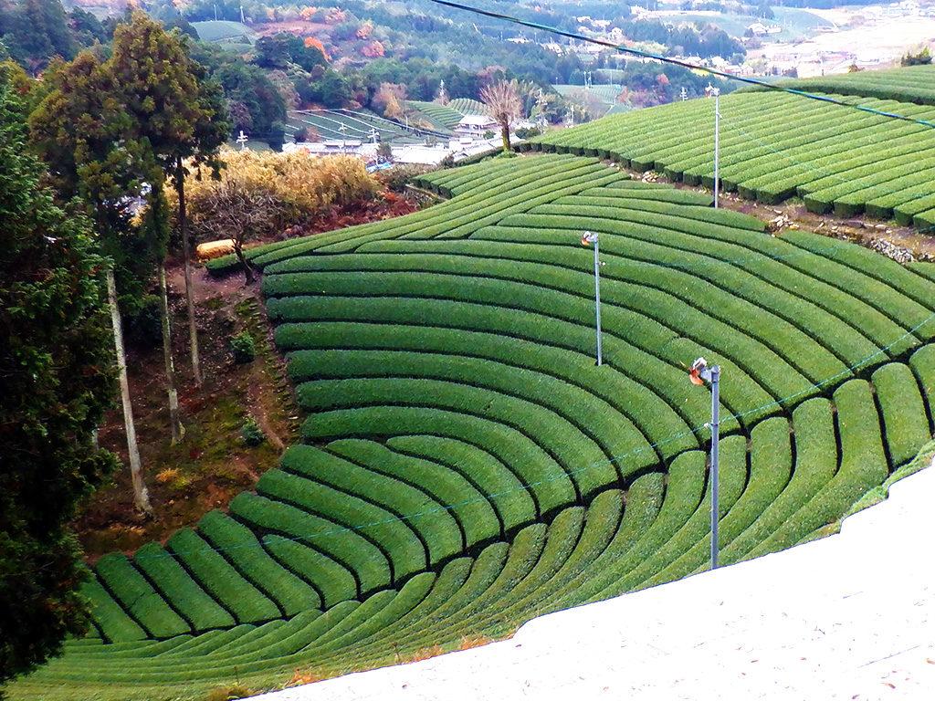 和束町原山の円形茶園