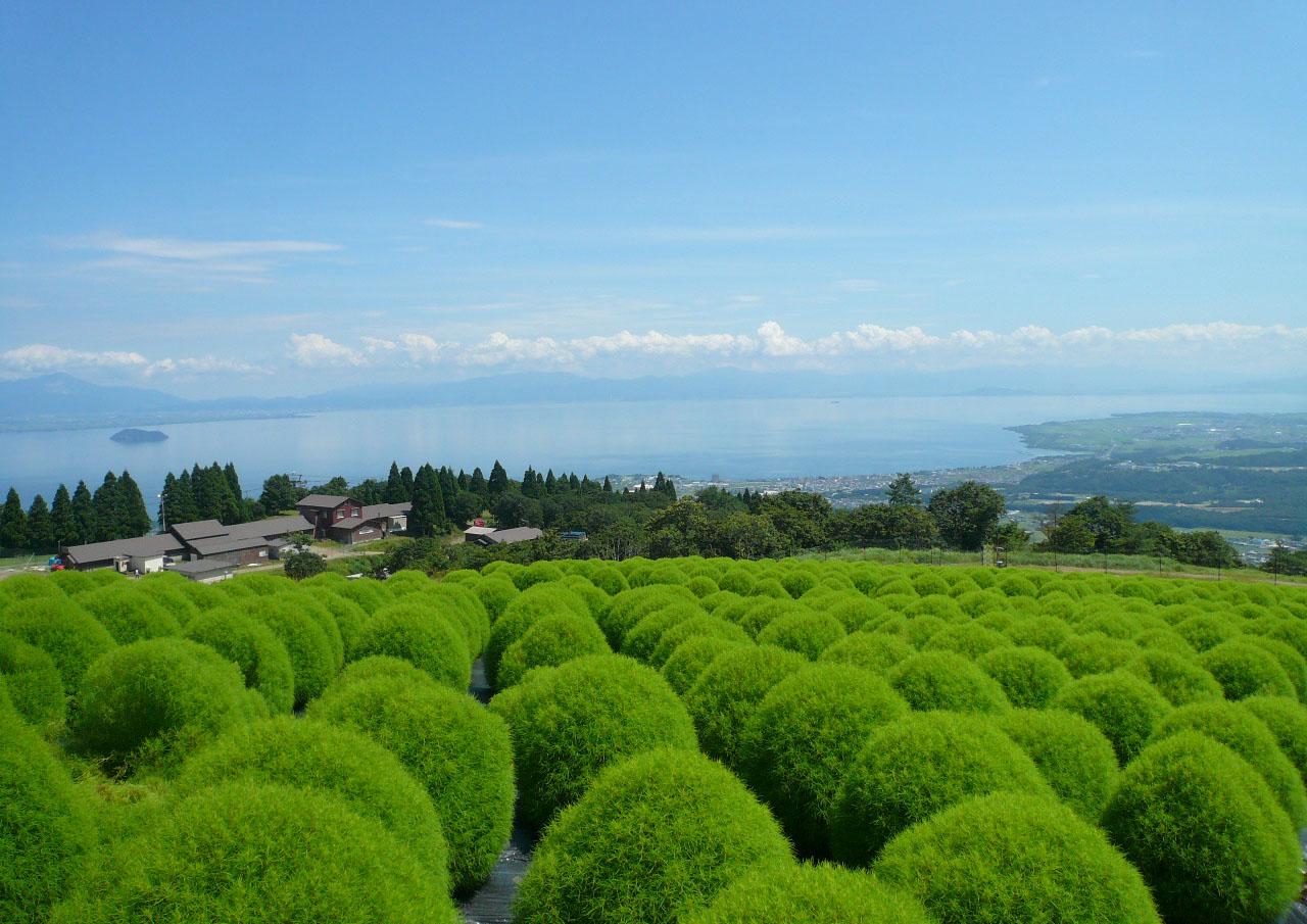 びわこ箱館山のコキア