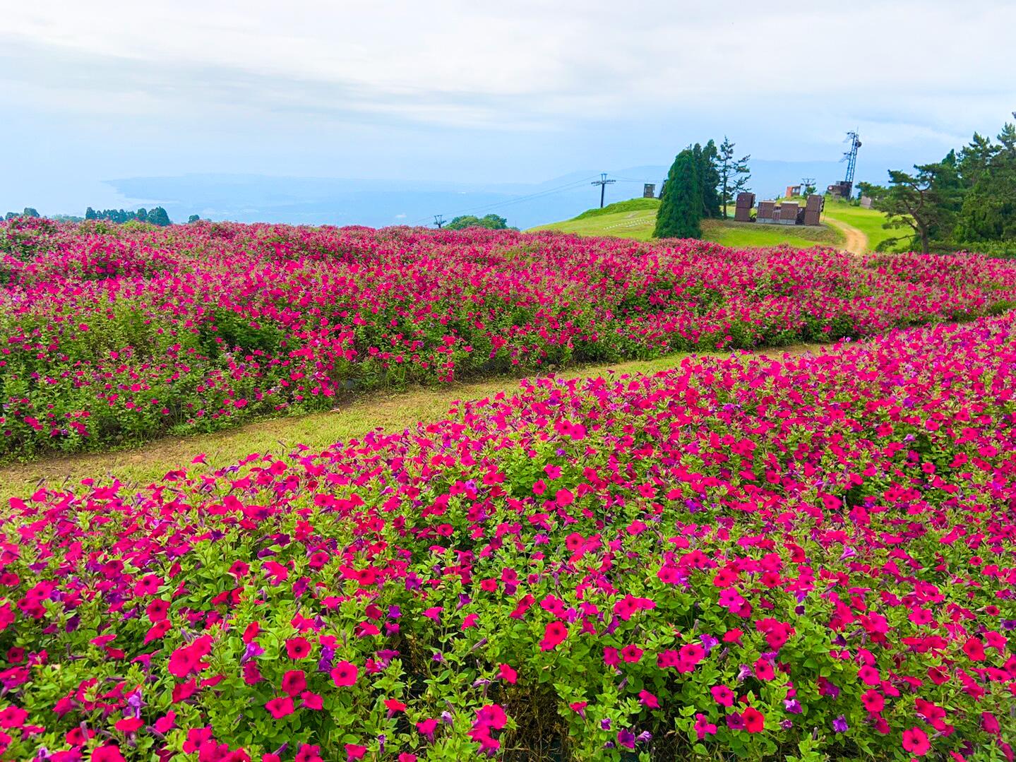 びわこ箱館山 ペチュニア畑